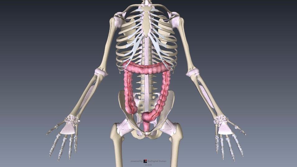 ダウンロード 大腸