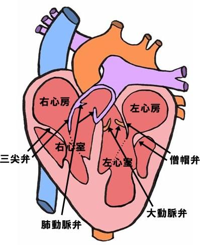心臓 位置 図 場所 三尖弁 僧帽弁 肺動脈弁 大動脈弁