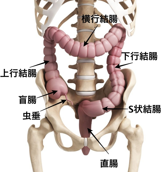 盲腸の位置 図 大腸部位名