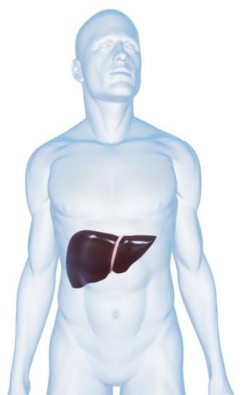 肝臓 位置