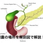 胆嚢の場所を図で解説!働きや機能、病気についても解説。