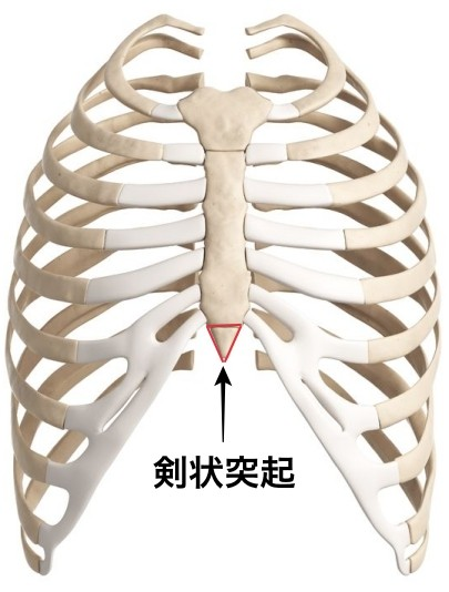 18448450 - 3d rendered illustration of the rib cage