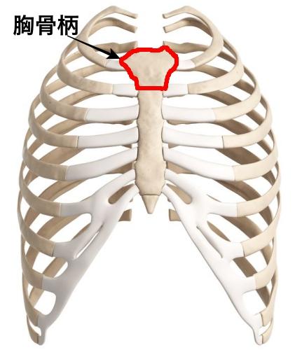 剣状突起 位置 図 胸骨柄