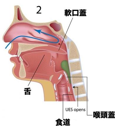 食道 気管 喉頭蓋 嚥下