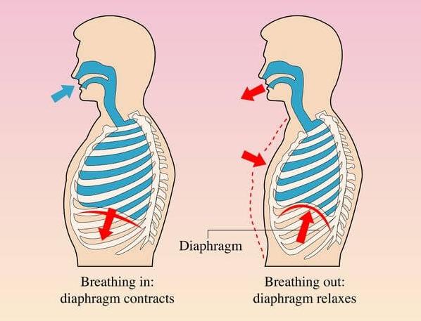 横隔膜 場所 解剖図