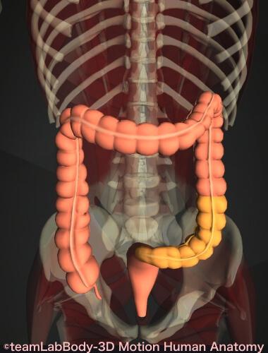 S状結腸の場所 図